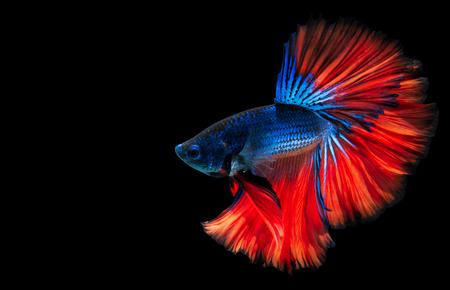 Betta fish, siamese fighting fish half moon isolated on black background beautiful movement macro photo Stock Photo