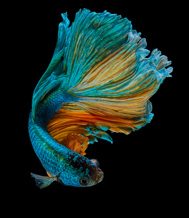betta fish, siamese fighting fish Half moon isolated on black background