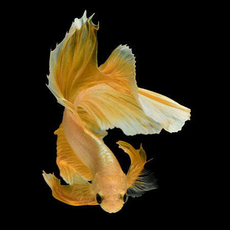 Betta の魚、シャムの戦いの魚「半月」黒い背景に分離されたムーブメントを美しいマクロ写真