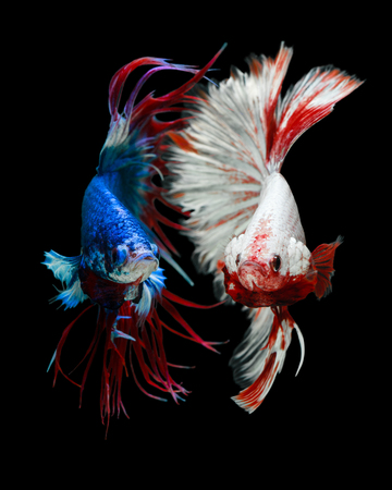 power giant: fighting Betta fish Crowntails VS Giant half moon isolated on black background beautiful movement macro photo Stock Photo