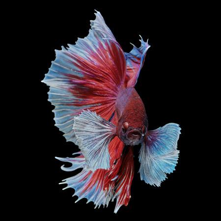 Betta fish, siamese fighting fish Big ear half moon isolated on black background beautiful movement macro photo