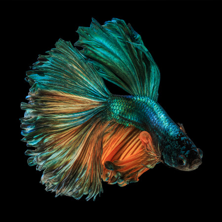 Fine art concept close up beautiful movement of Half moon Betta fish isolated Stock Photo