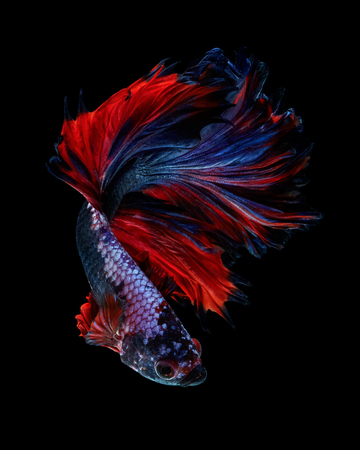 Power color betta fish Rosetail betta  fancy isolated on black background Fine art concept. Stock Photo
