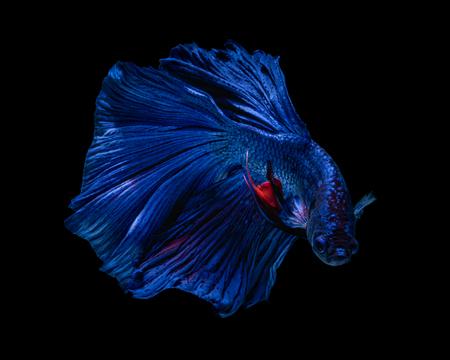 Fine art concept close up beautiful movement of Half moon Betta fish isolated on black background. Fine art design concept. macro photo