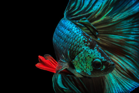 Fine art concept close up beautiful movement of Half moon Betta fish, fighting fish isolated