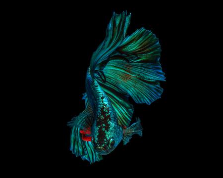 Fine art concept close up beautiful movement of Half moon Betta fish, fighting fish isolated