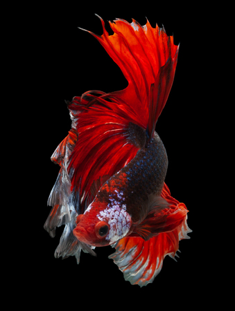 siamese fighting fish, betta fish Half moon isolated on black background
