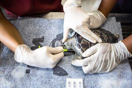 Les vétérinaires intègrent des puces électroniques pour les tortues marines afin de les suivre dans la nature.