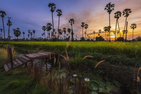 landscape sunset In the rice fields with many sugar palm trees, very colorful and beautiful.