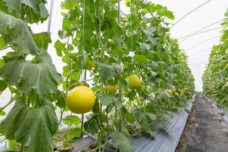 Melon balls that are grown in a greenhouse. Stock Photo