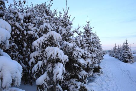 winter evening: Firs in the city in winter evening.