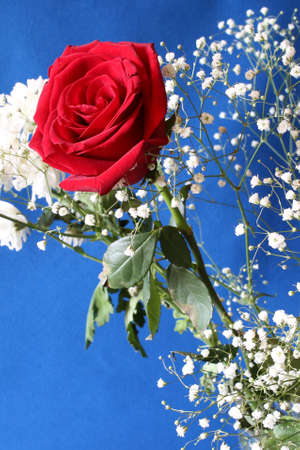 blue background: Rose with white flowers.