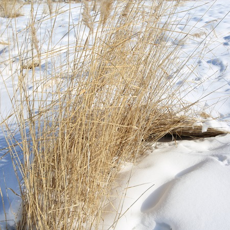 early spring snow: Grass in the snow. 1