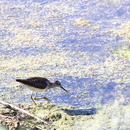 herbolaria: Un ave de la familia Scolopacidae. Herbalista. 3 Foto de archivo
