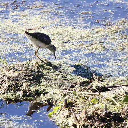 herbolaria: Un ave de la familia Scolopacidae. Herbalista. 1