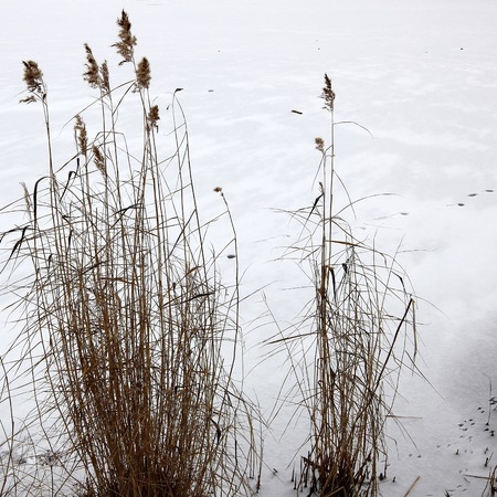 canne: Reeds in the snow. Archivio Fotografico
