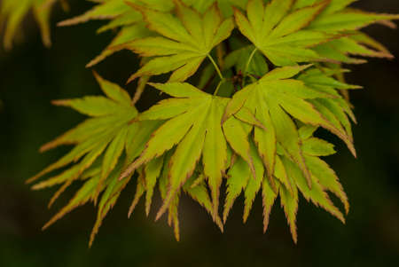 acer palmatum: Green leaves of an Acer Palmatum (Japanese Maple) against a dark de-focused background.