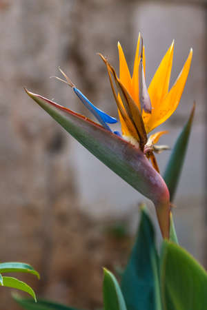 bloom bird of paradise: A single Bird of Paradise (Strelitzia) flower in bloom