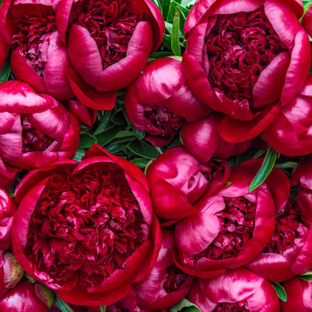Bright red circular Peony flowers on display Banque d'images
