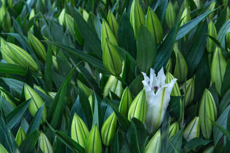 stargazer lily: A single white stargazer lily opening amongst multiple closed flowers and leaves on display Stock Photo