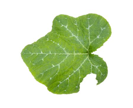 Green pumpkin leaf isolated on white background