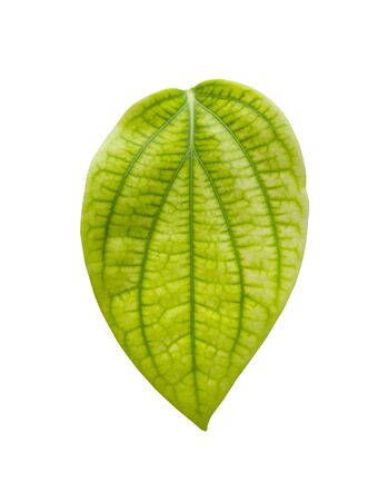 Green betel leaf isolated on white background