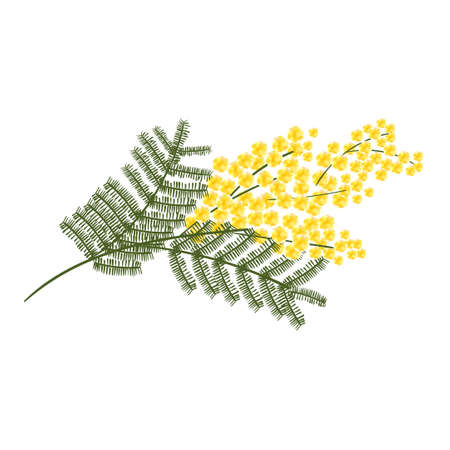 a sprig: Sprig of mimosa flower isolated on white background.