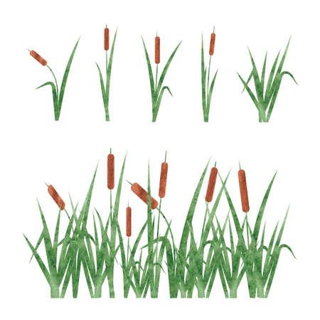 水彩の葦を設定します。白い背景に分離されたデザイン要素です。