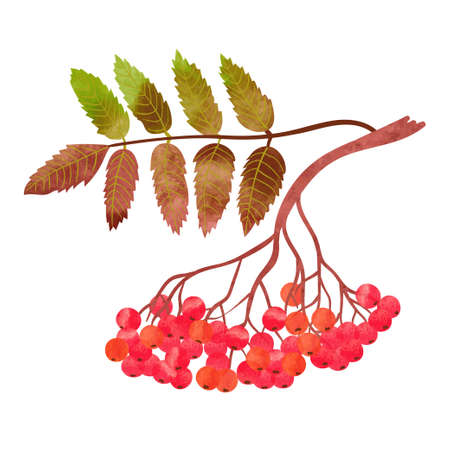 Watercolor rowan branch with berries isolated on white background. Vector illustration.