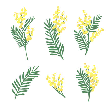 Set of mimosa flowers and leaves isolated on white background. Floral design elements. Vector spring illustration.