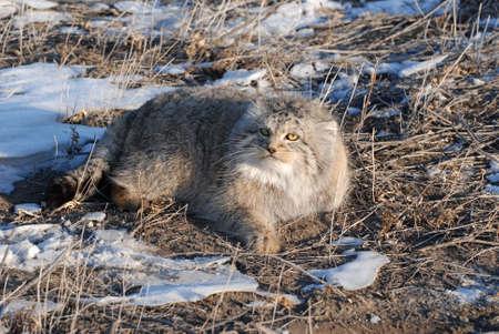 endangered: Wild cat manul - endangered inhabitant of the Mongolian steppes