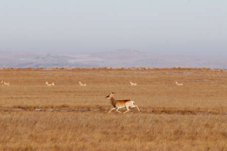 mongolian: Mongolian gazelle flock grazing in the steppe