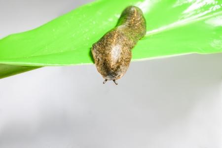 siamensis: snail semperula siamensis