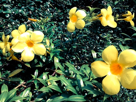 allamanda beautiful yellow flower with leaves in background photo
