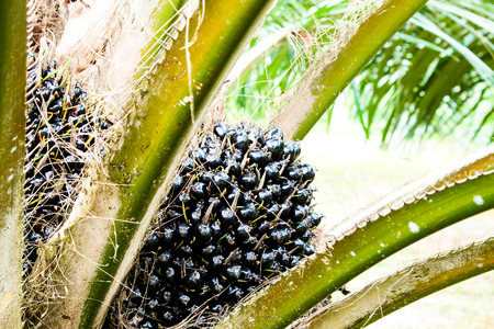 oil Palm tree and fruits branch in agriculture farm plantation photo