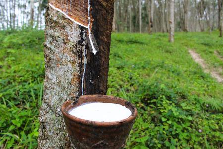 Makro Nahaufnahme frischen milchigen Latex extrahiert Tropfen Wasser aus para Gummibaum in einer Holzschale