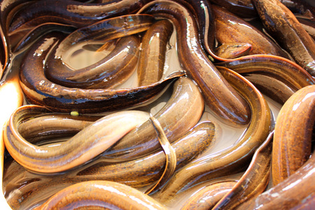fresh eels in thai market photo