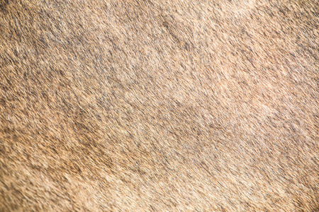 brown cow skin texture pattern , asia thai agriculture photo