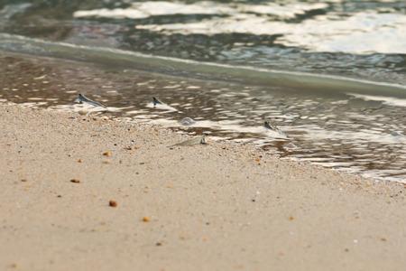 mesogobius: little fish mudskipper or amphibious fish on mud at sea