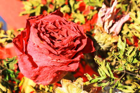 bouquet of flower dried roses still life with morning sunlight photo