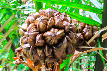 nypa palm fruit in Thailand, close up of nypa seed in nature. photo