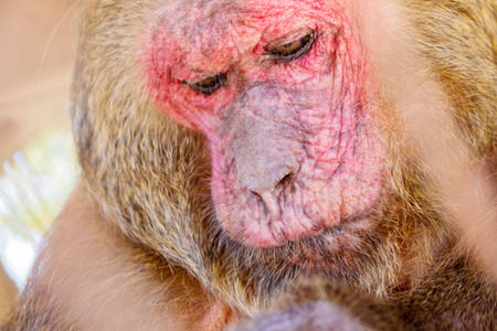 stump-tailed macaque in cage