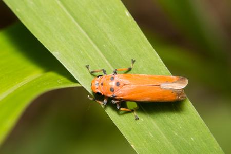 cicada bug: close-up treehopper or spittlebug on green leaf