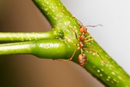 leaf cutter ant: close-up ant on green leaf Stock Photo