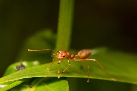 hormiga hoja: primer plano de la hormiga en la hoja verde
