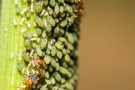 extra soft focus aphids macro on plant Stock Photo