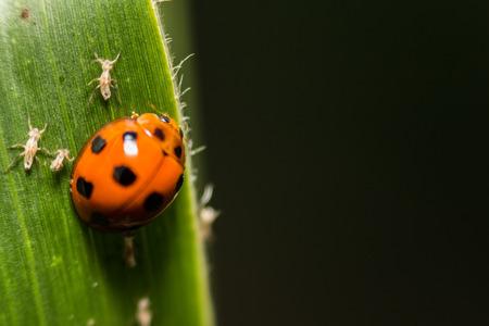 extra soft focus ladybug macro on green leaf photo