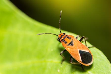 seedpod: extra soft focus Indian Milkweed Bug, Oncopeltus confusus macro on green leaf
