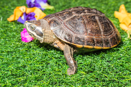 large turtle: turtle on green grass texture background eco concept, asia, thailand
