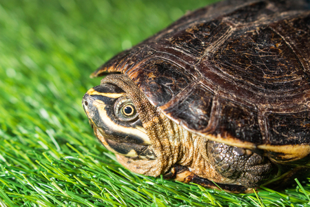 ancient turtles: turtle on green grass texture background eco concept, asia, thailand